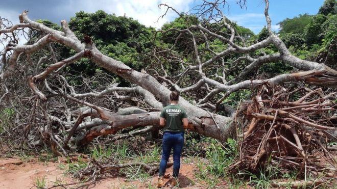 Fiscal diante de árvores do Cerrado arrancadas e com raízes expostas