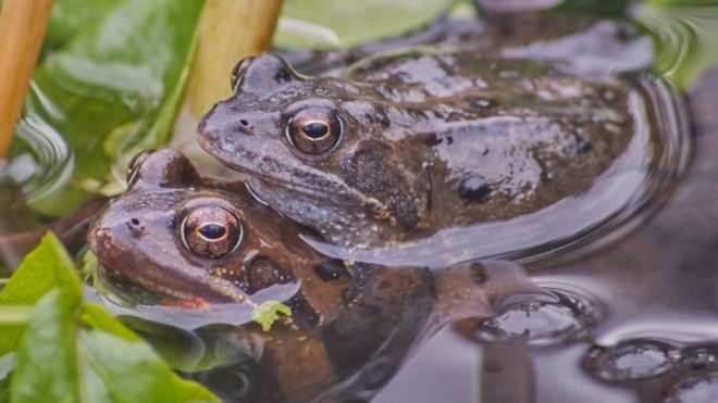 Garden ponds playing role in frog disease spread BBC News