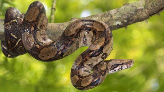 Angleterre : un python anorexique avale 800 livres