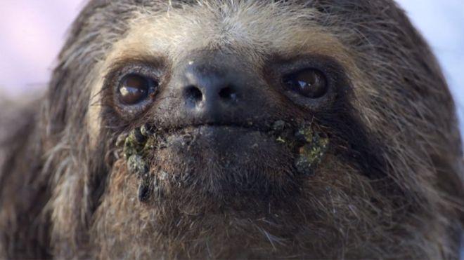 Bicho-preguiça