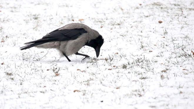 Московские вороны приспособились к московской зиме