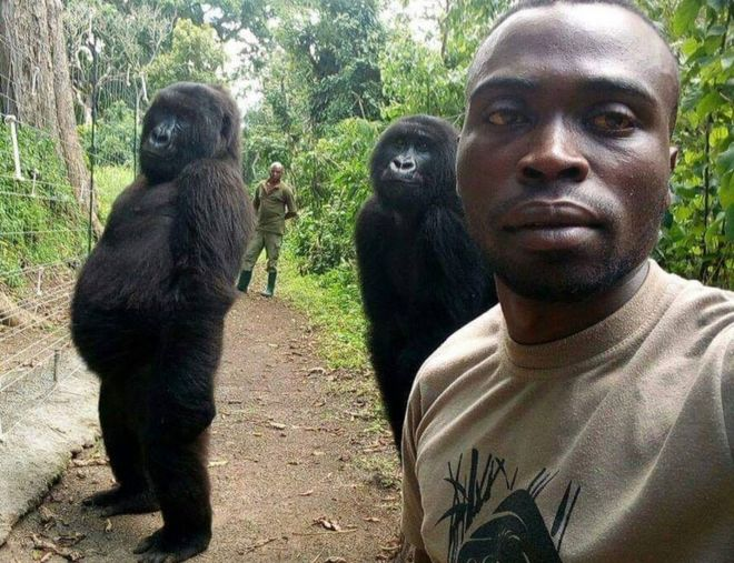 Gorilas posando