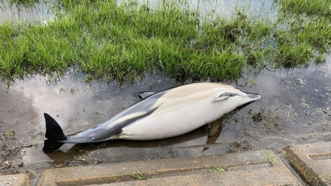Dolphin found in Essex estuary had birth 'complications' - BBC News