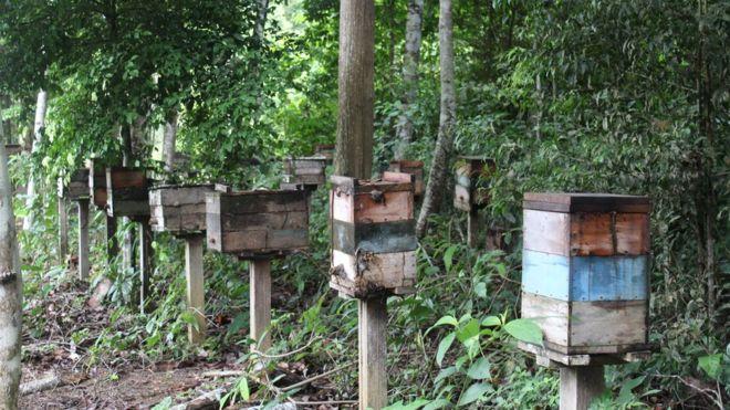Produção de abelhas sem ferrão despencou na região de Belterra e se tornou economicamente insustentável