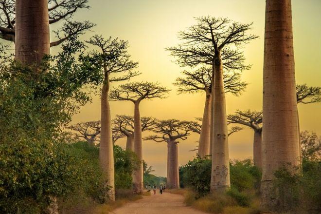 Avenida de Baobab, Morondava, Madagascar