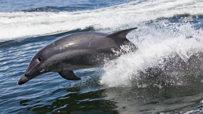 brest frisky dolphin sparks french swimming ban bbc news