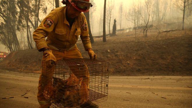 مسؤول في جهاز الإطفاء يحمل قططا أنقذها من الحرائق في منطقة بيغ بيند.