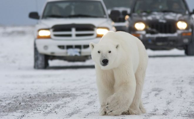 The polar bears are coming to town - BBC News on map of polar bear range, map of canada polar bear, where does a polar bear live, maps where brown bears live, spectacled bears live, where do polar bears live, where does the polar bear live, map of where kodiak bears live, polar bear camera live, where do squids live, how long can polar bears live, where does an aardvark live, map of polar bear habitat, map of younger dryas, how long do bears live, a map of where bears live, wear do polar bears live, description of where polar bears live, diagram of where polar bears live, map where black bears live,
