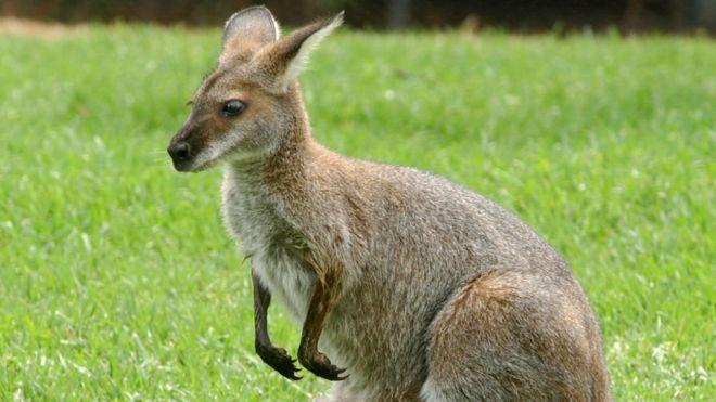 huge discount acdde f5a6c Mystery kangaroo in Austria still on the loose - BBC News