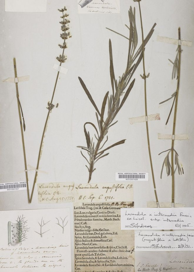A lavender dating back to 1731