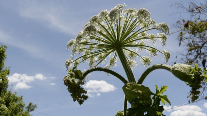 что за растение борщевик фото