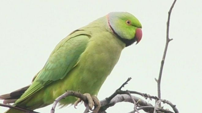 Wild parakeets take roost in Birmingham's Shard End - BBC News
