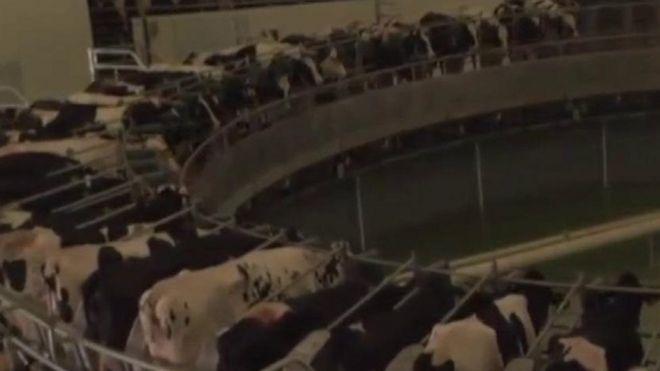 أموال قطر وأبقارها تساعدها في مواجهة المقاطعة