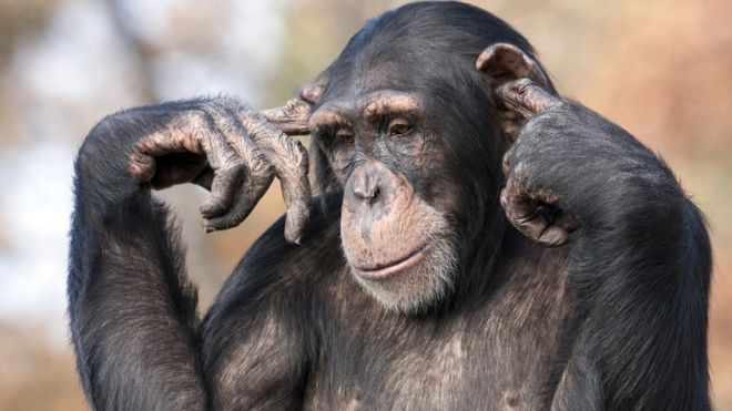 Chimpanzee with fingers in its ears