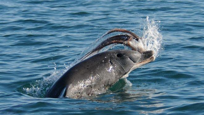 A bottlenose dolphin tosses an octopus across water