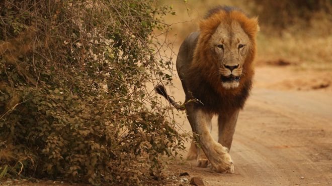 lions escape from south africa s kruger national park bbc news