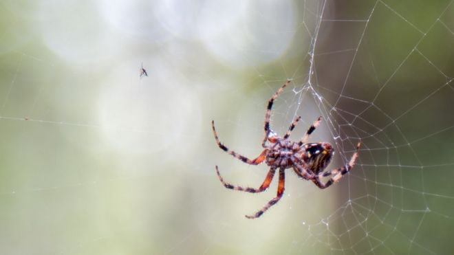 Spider has caught a mosquito in its web