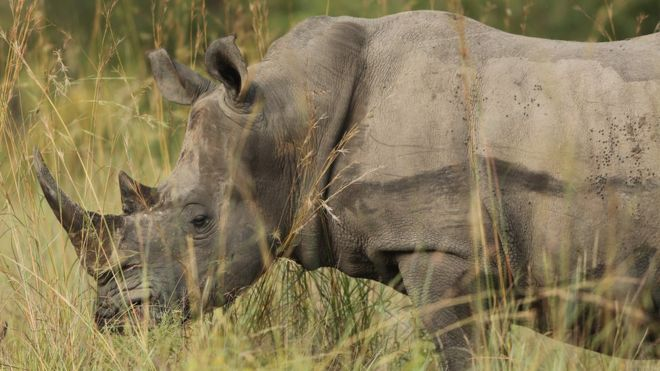 A rhino is pictured in South Africa, 6 February 2013