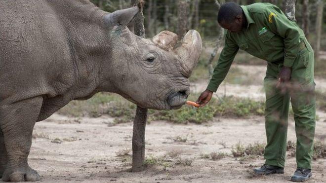 Um cuidador queniano alimenta Sudan, o último rinoceronte branco do norte macho, com uma cenoura; o animal morreu em março de 2018