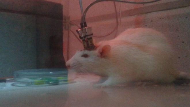 Rato com eletrodos