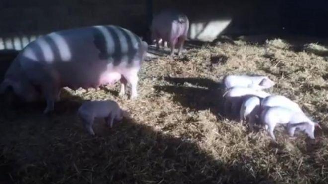 Lechones y cerdas de la granja de Milton Lilbourne