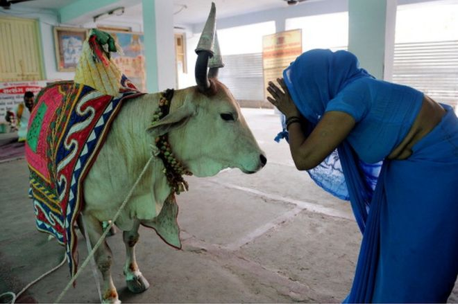 why the humble cow is indias most polarising animal  bbc news cow in india