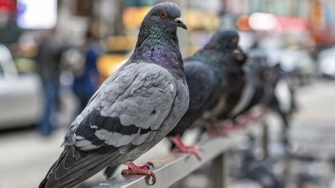 Pigeon droppings health risk - should you worry? - BBC News