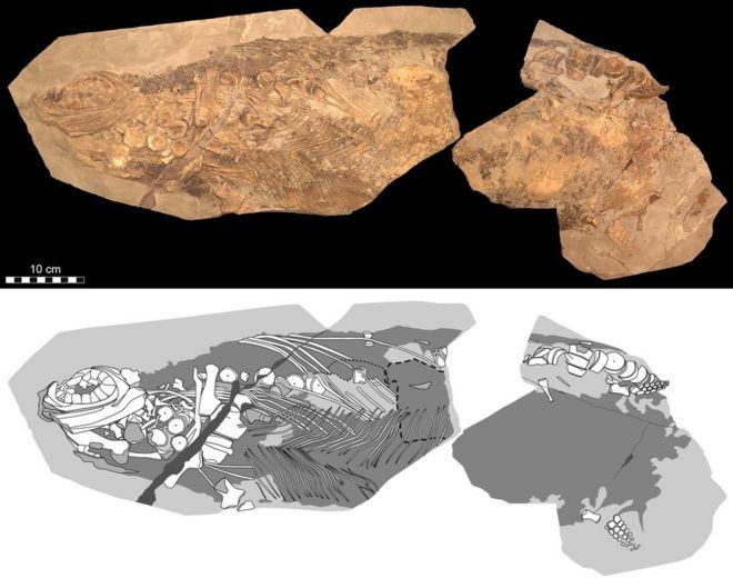 Image result for ichthyosaur fossil blubber