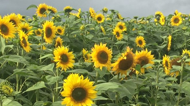 Sunflowers sown for cancer patients bbc news image caption the flowers are in a field at clogherny road between omagh and ballygawley mightylinksfo