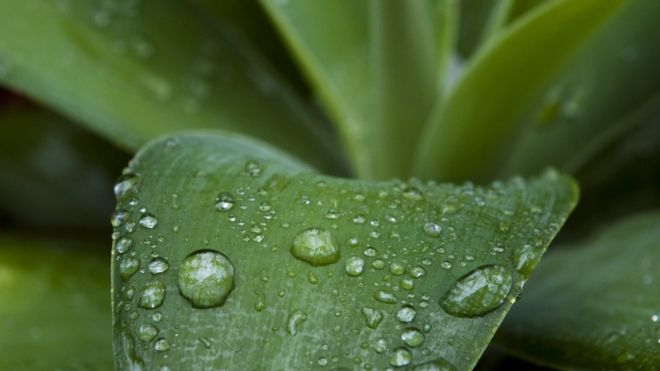 Raindrops on an agave leaf