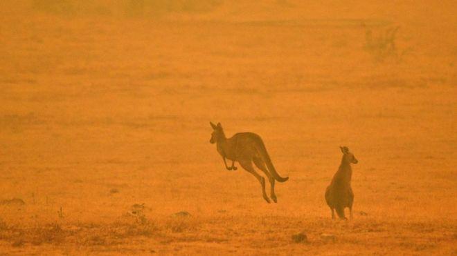 Una pareja de canguros entre el humo de los incendios en Snowy Valley, Comma en el sureste de Australia.
