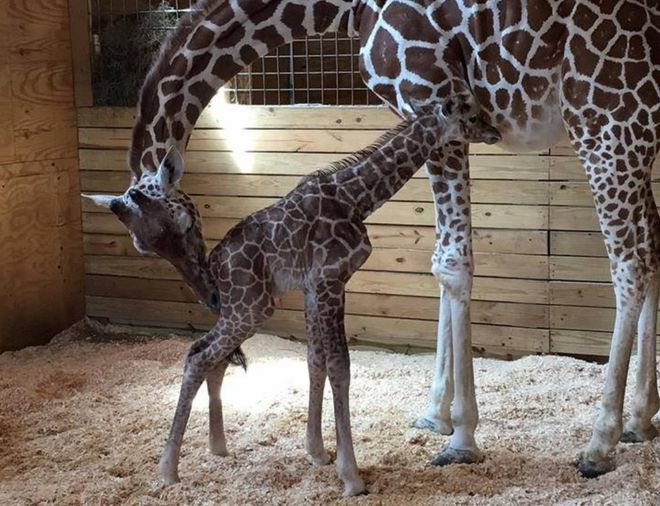April the Giraffe with calf