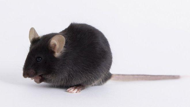 Rato de laboratório k18-hACE2, produzido pela Jackson Laboratory