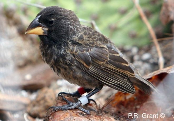 Galapagos finch seen becoming new species