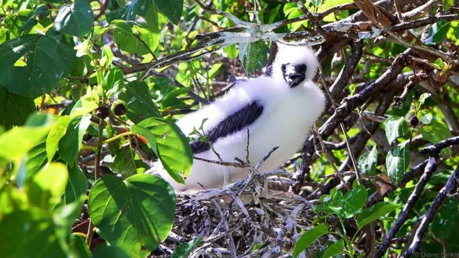 A red-footed boobie chick pokes out from a nest