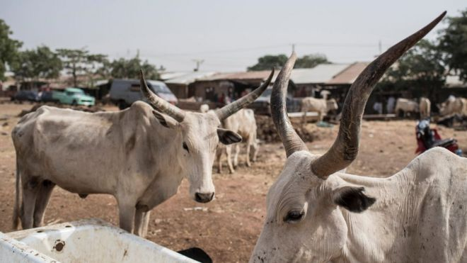 This file picture taken on February 23, 2017 shows two cattle at a livestock yard in Kaduna, northwest Nigeria. The kidnapping gangs and cattle thieves are known to operate in northern Kaduna and Zamfara.