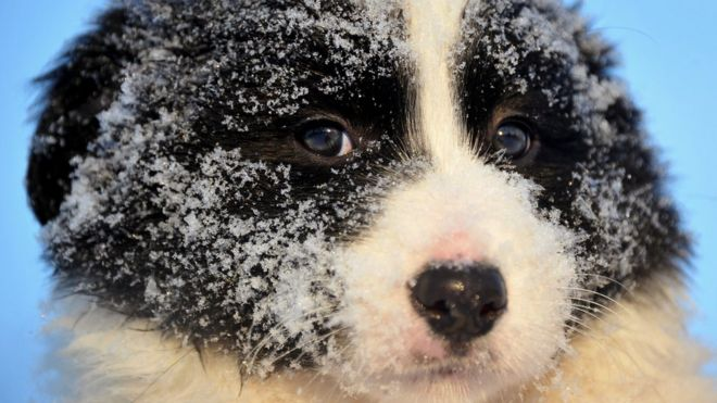 イヌの起源は中央アジアと 遺伝...