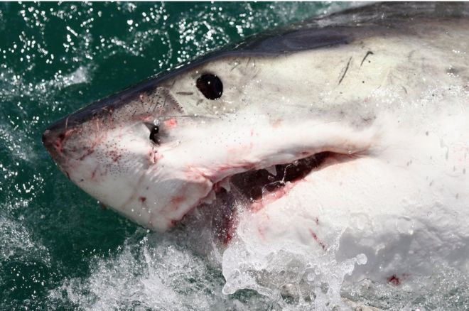 Cool Shark Attack Pictures
