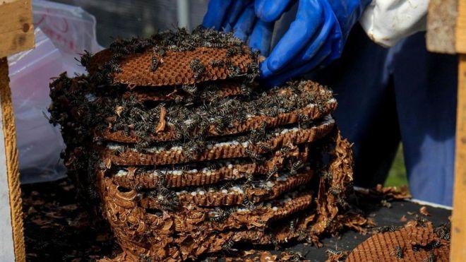 Выследив, куда возвращаются осы, охотники вырывают их гнездо из земли и помещают в ящик, где растят до тех пор, пока не появятся личинки