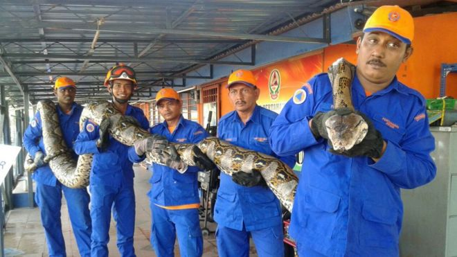 Image result for biggest python found in malaysia