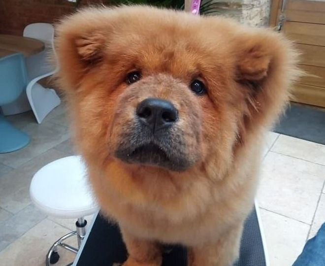 Bungle The Chow Chow Family Thank Public For Puppy Support Bbc News