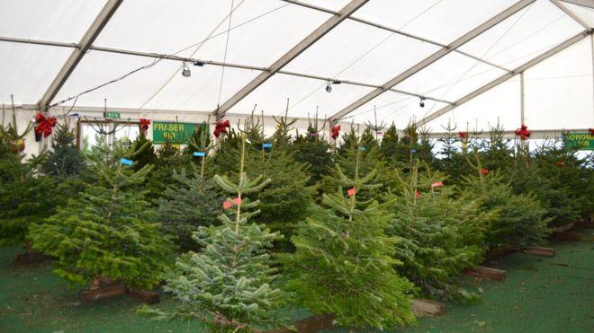 Christmas trees - a long-term growth business - BBC News