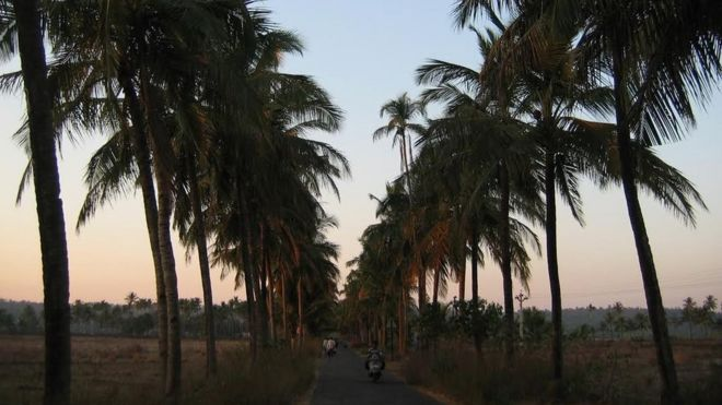 why has goa decided the coconut palm is no longer a tree news coconut palms in goa