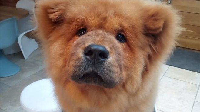 bungle the chow chow why police seized this fluffy dog bbc news