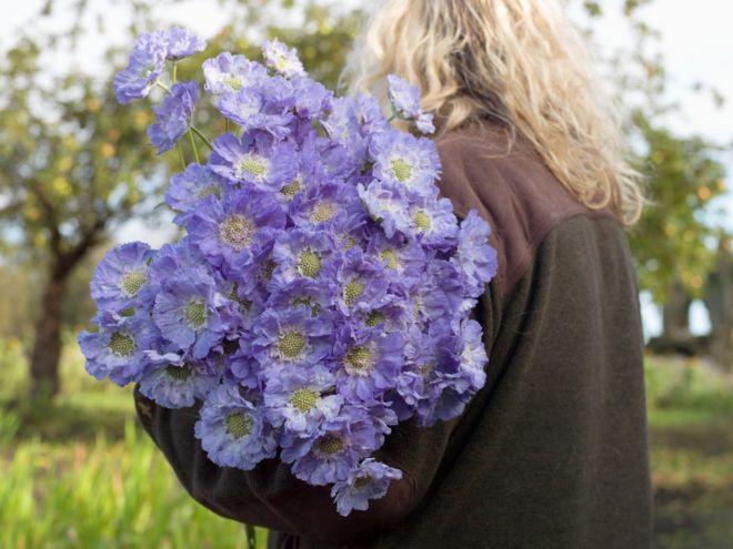 زهور الأريغارون أو شيخ الربيع في كليفلاند