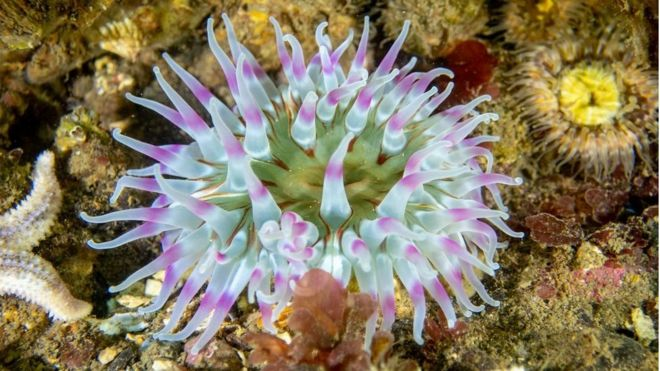 A photo of a blue and purple dahlia anemone in waters around Scotland