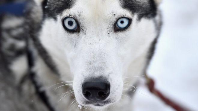หมาไซบีเรียนฮัสกี้มีตาสีฟ้า