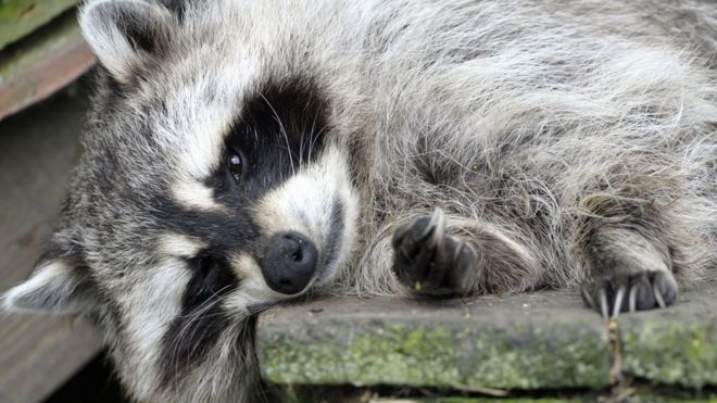 Woman asks firefighters to help 'stoned' raccoon - BBC News