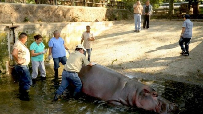 El Salvador's much-loved hippo Gustavito killed at zoo - BBC