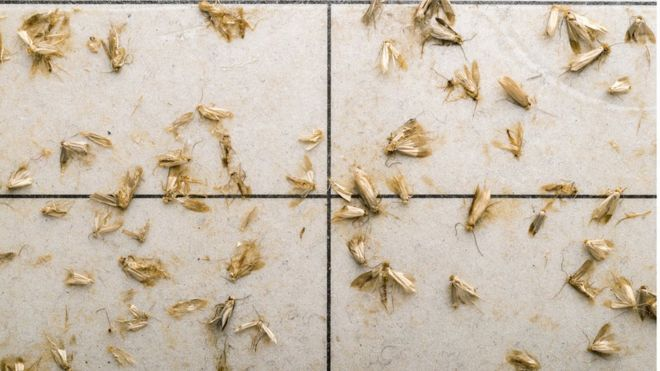 Reality Check: Are clothes moths on the rise? - BBC News